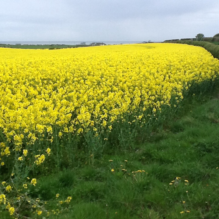 yellow flwrs field image9
