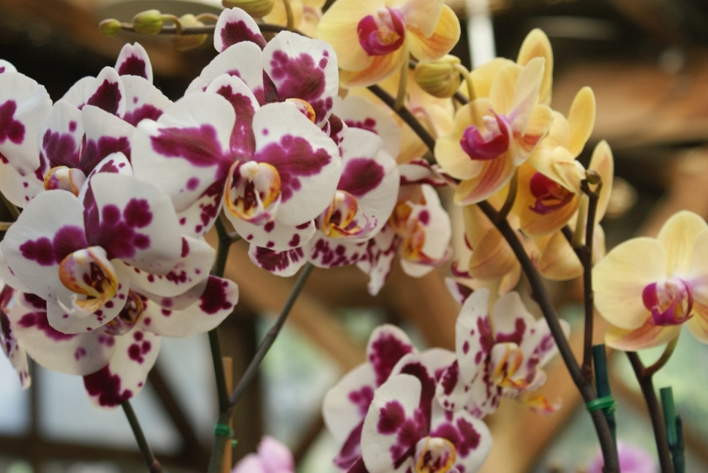 orchids, yellow, purple and white SELBY GARDENS